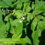 Growing and Using Medicinal Herbs: Raspberry Leaves