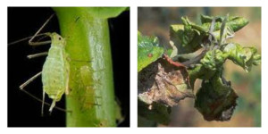 Aphid Collage