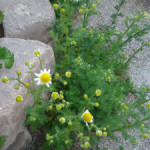 Growing and Using Herbs: Chamomile