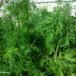 Growing and Using Herbs: Dill