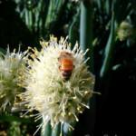 Harvesting Onion Seeds