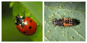 Lady Bug Collage