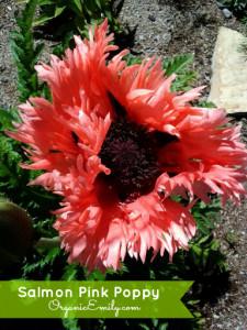 Salmon Pink Poppy
