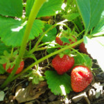 Growing and Using Strawberries