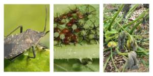 Squash Bug Collage