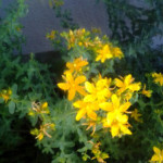 Growing and Using Medicinal Herbs: St. John's Wort