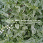 Growing and Using Herbs: Basil