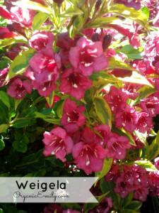 Wegelia