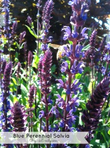 blue perrenial salvia