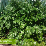 Growing and Using Herbs: Cilantro