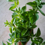 Growing and Using Herbs: Oregano