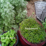 Growing and Using Herbs: Peppermint and Lemon Balm