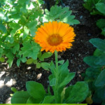 Growing and Using Medicinal Herbs: Calendula