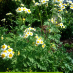 Growing and Using Medicianl Herbs: Feverfew