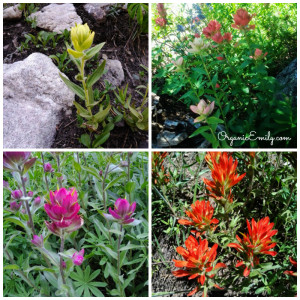 Indian Paintbrush Collage 1