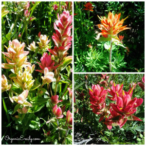 Indian Paintbrush Collage 2