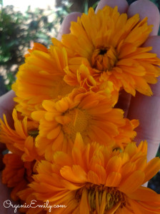 Picked Calendula Flowers