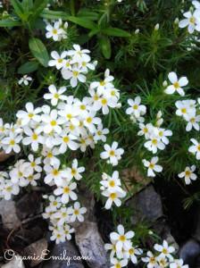 White Flower Mystery 2