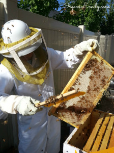 Brushing Bees off Frames 2