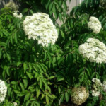 Growing and Using Medicinal Plants: Elderberry