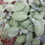 Growing and Using Herbs: Sage