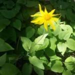 Medicinal Herb – Arnica
