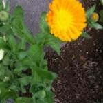 Medicinal Herb – Calendula