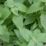 Medicinal Herb – Catnip