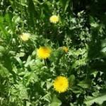 Medicinal Herb – Dandelion