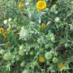 Medicinal Herb – Gumweed