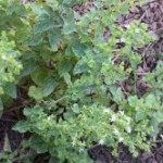 Medicinal Herb Post – Oregano