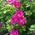 Medicinal Herb – Rose