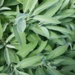 Medicinal Herb Post – Sage