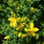 Medicinal Herb – St. John's Wort