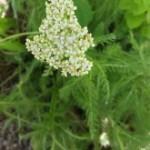 Medicinal Herb – Yarrow
