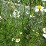 Medicinal Herb – Chamomile