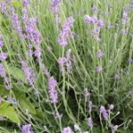 Medicinal Herb – Lavender