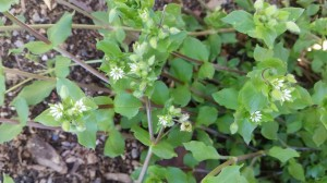 Chickweed 1