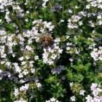 Medicinal Herb – Thyme