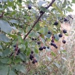 Medicinal Herb – Wild Choke Cherry with Wild Cherry Cough Syrup