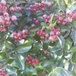 Medicinal Herb – Hawthorn
