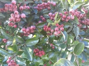 rp_Hawthorn-tree-300x225.jpg